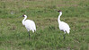 These Whooping Cranes allowed us some great views during our boat trip in Aransas NWR. Photo by guide Chris Benesh.