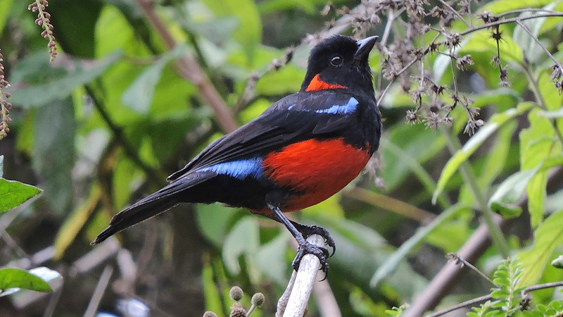 "Tanagers? Yes, we saw them, including 47 species with ""tanager"" in the name, among them this Scarlet-bellied Mountain-Tanager by guide Willy Perez."