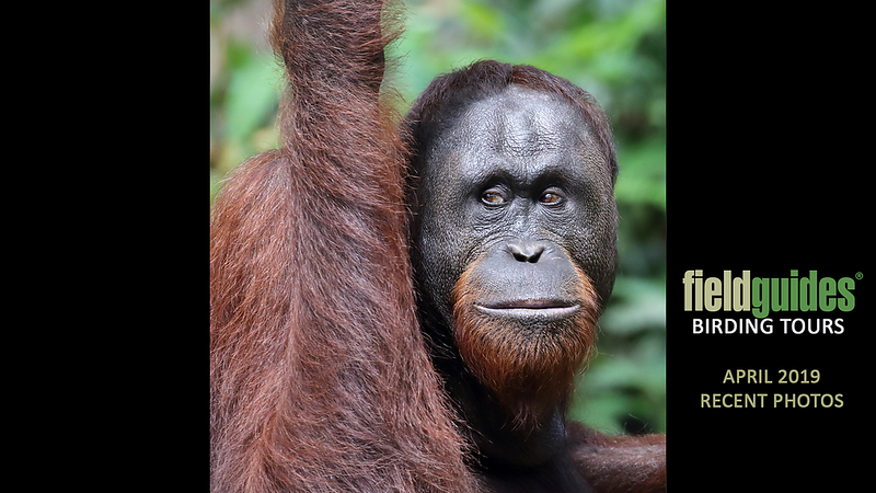 This Bornean Orangutan welcomes you to the Recent Photos Gallery for April 2019!  Our Borneo tours see this Endangered mammal in the Danum Valley and along the Kinabatangan River, where participant Myles McNally took this fine image on our recent tour with Megan Edwards Crewe.