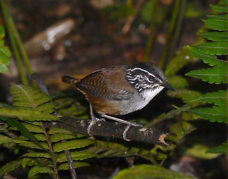 Wood-wrens are almost ubiquitous by voice in the New World tropics -- and pretty adorable when we get a good view, as we did with this White-breasted Wood-Wren. (Photo by participants David and Judy Smith)