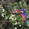 The Malachite Kingfisher appears to be misnamed since it lacks any green in its plumage -- but it is striking nonetheless! (Photo by guide Phil Gregory)