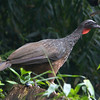 Dusky-legged Guan is the most southerly distributed of the Cracids (and perhaps you've seen the most northerly one, Plain Chachalaca in Texas). (Photo by participant Ken Havard)