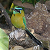 Judging by the whitewash, this Blue-crowned Motmot has a preferred perch. Motmots are sit-and-wait predators on insects and lizards -- so it's good to have just the right vantage! (Photo by participants David and Judy Smith)