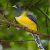 Black-throated Trogon offers a different color palette from the Masked Trogon we saw earlier. (Photo by participants David and Judy Smith)