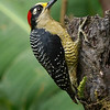 This handsome Black-cheeked Woodpecker was photographed by participants David and Judy Smith.