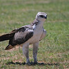 Martial Eagle is a regal raptor, even in its immature plumage. (Photo by guide Phil Gregory)