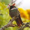 We like the Frilled Coquette so much we put an image of it on our new business cards. (Photo by participant Ken Havard)