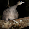 Solitary Tinamou in a tree, who knew? We did, and that's why went looking for one there on its nightroost! (Photo by participant Ken Havard)