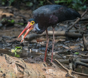 One of the world's most endangered storks, a Storm's Stork has caught a crayfish for lunch. Fewer than 500 Storm's Storks exist on Earth, and the Kinabatangan River is the best place to see them. (Photo by James Moore.)