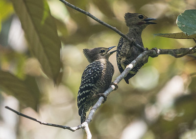 Tiny Buff-rumped Woodpeckers are among the more common and conspicuous of the dozen woodpecker species we seek in Borneo. They seem to have no fear of people and almost appear curious about photographers at times. (Photo by James Moore.)