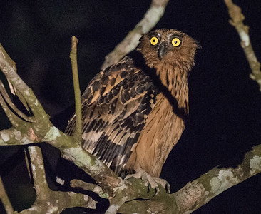 At night, in addition to seeking out Oriental Bay-Owl, Brown Wood Owl, and Large Frogmouth by boat, we usually see one or more Buffy Fish-Owls on the hunt at the edge of the tributaries. (Photo by James Moore.)