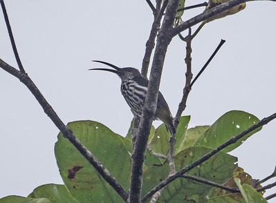 Whitehead's Spiderhunter! This is generally the most difficult of the trinity to find, as it travels over a wide area in the mountains, traplining between flowers. Its odd calls, sounding rather like Jamaican Blackbird, are usually the first indication of its presence. (Photo by James Moore.)