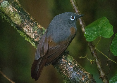 Although many of Borneo's birds are stunning in both color and form, many birds of the mountains are more subtly plumaged, such as this Sunda Laughingthrush, one of three species of laughingthrush found on Kinabalu. The sometimes difficult Bare-headed Laughingthrush has an unfeathered head as an adult, yet another of the marvelous evolutionary eccentricities of this island. (Photo by James Moore.)