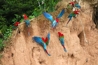 A huge highlight of our time on the river is a visit to the clay lick (ccolpa), near Chuncho, Peru, which hosts many dozens of macaws and parrots each afternoon. These Red-and-green Macaws all seemed to have a different approach to eating this mineral-rich clay, some suspended upside down from branches, others clinging to the cliffs as they dug in. (Photo by Bill Byers.)