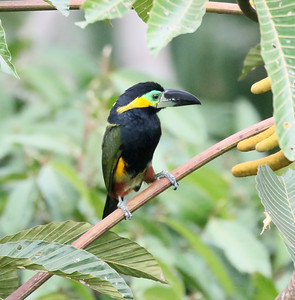 We could certainly stop now. That would be a great tour already. But the hits just kept coming for Jesse and his group! This male Golden-collared Toucanet posed beautifully ...