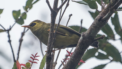 In between Kinabalu National Park and the lowland areas, our group spent a full morning birding the middle elevations of the Crocker Range, where special birds like Blyth's Hawk-Eagle, Mountain Barbet, Bornean Barbet, and Mountain Blackeye (here) make their home. This is a difficult species to photograph! (Photo by James Moore.)