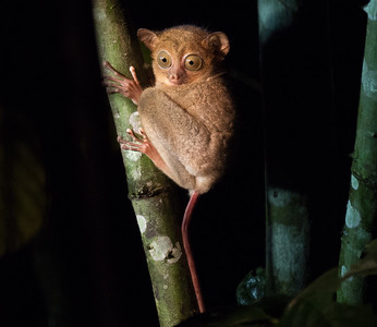 One of the few creatures that can be located by scent is this tiny Horsfield's Tarsier, which uses its foul-smelling urine to mark its territory. These fascinating creatures leap around vines so rapidly that their movements can be difficult to track with the human eye, especially when they are feeding actively at night. Their reflexes are fast enough to snatch flying bats and birds from the air. Tarsiers are in the same primate suborder (Haplorhini, the dry-nosed primates) as humans, monkeys, and apes. The other suborder (Strepsirrhini, the wet-nosed primates) includes the lemurs, bushbabies, pottos, and lorises. (Photo by James Moore.)