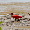 These grand birds, close relatives of White Ibis, forage at lower tides on invertebrates around mangrove swamps, especially fiddler crabs and worms. Photo by participant Holger Teichmann.
