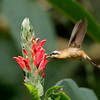 Hummingbirds abound on Trinidad and also on more arid Tobago. Many species patronize feeders at Asa Wright Nature Center, but Tom and crew saw many, like this Little Hermit, nectaring on native plants. Photo by participant Holger Teichmann.
