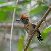 Antbirds and antshrikes are novel for North American birders on their first Neotropical trip, and Trinidad offers the chance to get to know a few species well, such as this female Black-crested Antshrike. Photo by participant Holger Teichmann.