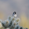 Of the tour's 17 sparrow species, Black-throated Sparrow was probably the most photogenic, perched here in a cholla cactus. Photo by participant Bing Yang Tan.