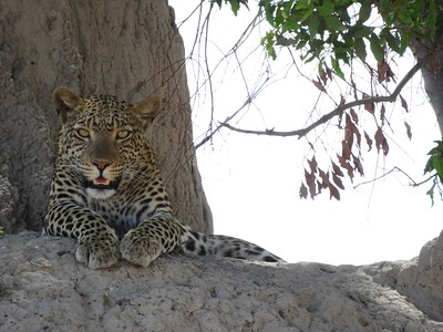 By contrast, this Leopard, resting and panting in the shade of a giant termite mound, kept a close watch on the group.