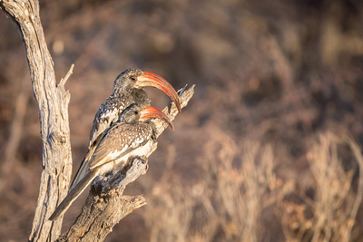In addition to more widespread African species, the group connected well with more regional endemics, such as these Monteiro's Hornbills, a species found only in Namibia and adjacent southwestern Angola. (Photo by guide Tarry Butcher.)