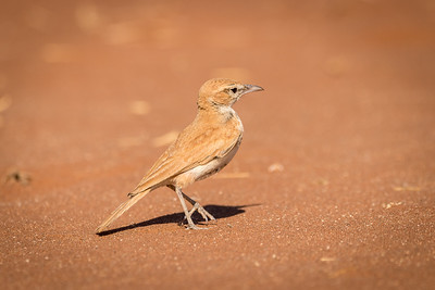 As veterans of South African birding know (especially those who have looked for Red Lark on the red Koa Dunes), a lack of trees doesn't mean the birds are easy to find! Fortunately, this pretty Dune Lark at Sossusvlei didn't play hard to get. And another was resting in the shade of the vehicle after the group's hour-long search on foot! (Photo by local guide Tarry Butcher.)