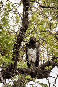 ... and this fine Martial Eagle, a widespread but vulnerable species that is Africa's largest eagle.