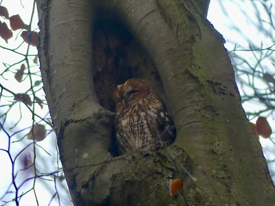 The new Holland tour takes in the major museums and uses most mornings to appreciate the abundant green spaces, full of birds, all over the capital region. The Dutch environmental consciousness translates into careful attention to forest structure, and they preserve older, senescent trees that have cavities for wildlife, like this sleepy Tawny Owl. (Photo by participant Mary Deutsche.)