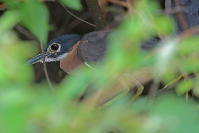 ...as did the ultra-shy White-backed Night-Heron! All three big specialties of the river by 9:20 a.m.! That must be some kind of record. (Photo by participant George Sims.)