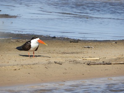 The sometimes-tricky African Skimmer also made an appearance on that morning's boat trip...
