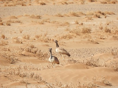 These vocalizing Rueppell's Bustards at Sossusvlei also managed to blend well with their environment. Classed in genus Heterotetrax with Little Brown and Karoo bustards, Rueppell's are found only in Angola and Namibia (this subspecies, fitzsimonsi, is endemic to Namibia). (This photo and the series following by guide Terry Stevenson.)