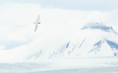 And there it was, at Ny Alesund, like a volant fragment of its icy world, an adult Ivory Gull, a species now considered near-threatened and numbering fewer than 50,000, possibly fewer than 20,000.