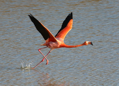 Here's a clue: an American Flamingo.