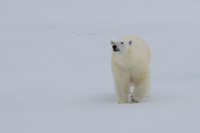 "And nearby, the species that ""made us hold our breath when we saw it first and each time thereafter."" Our group saw Polar Bear on five captivating days in a row."