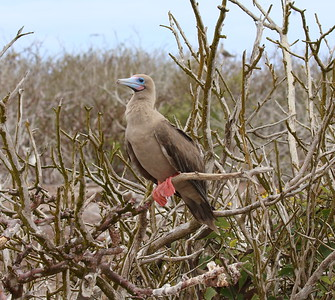 One of the world's two tree-nesting booby species, Red-footed Boobies were common, both in the dark morph (as here) and in the light. Masked, Nazca, and those adorable Blue-footed Boobies also entertained the group as only courting, displaying boobies can.