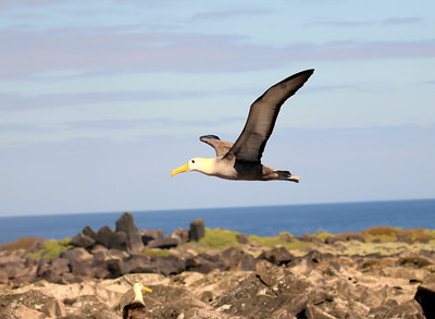 And it was a real privilege to study the critically endangered Waved Albatross at the nest. We salute all of the conservation biologists working to help this and other magnificent seabirds in the Galapagos. And we thank participant Barry Tillman for the wonderful bird images and participant Paul Kittle for the evocative photo of the tree cactus on Santa Cruz Island!