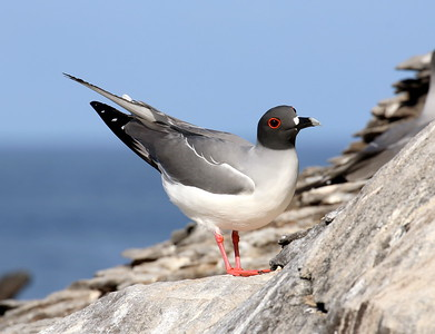 Yes! The same place we find the world's most beautiful (arguably) gull, the Swallow-tailed Gull - in the Galapagos archipelago, off the coast of Ecuador. So that was a Galapagos Penguin, the northernmost species of its family.
