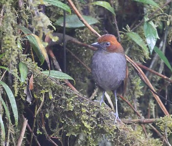 Behold the joyita - Grallaria nuchalis, the Chestnut-naped Antpitta!  This bird at Pena Blanca near Jardin was truly cooperative, even taking a worm from Jesse's hand. Although Chestnut-naped also ranges into Ecuador and Peru, Colombia is a great place to see it, along with 26 other species of antpitta.