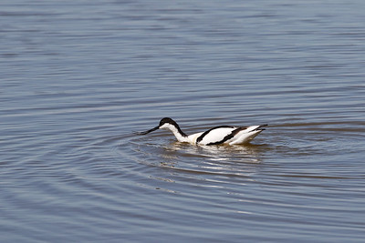 At Minsmere, a sanctuary of the Royal Society for the Protection of Birds, Jeanette Shores also managed to get a photo of this Pied Avocet with prey, a neat trick!