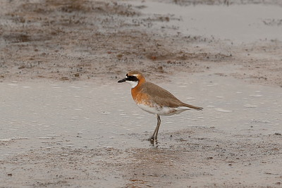 "St. Paul Island also gave the group this fetching Lesser Sand-Plover in breeding plumage, the subspecies ""mongolus"" formerly known as Mongolian Plover (and perhaps, if split, to regain its more exotic name?)."