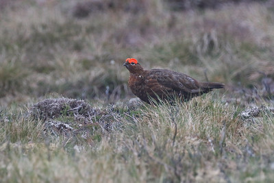 Red Grouse (as Willow Ptarmigan is known in Scotland, where the subspecies scotica has no white plumage in winter) was a confiding subject for photography on the moors of Findhorne, near the village of Farr. Photo by participant Jeanette Shores.