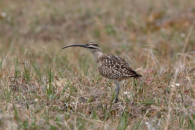 On the mainland near Nome, the trek to see Bristle-thighed Curlew at Coffee Dome on the Kougarak Road was a real success. This bird was so cooperative that the group could count the bristles on its thighs!