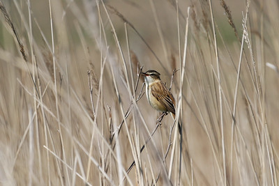 "Sedge Warbler is not the most colorful of British birds, but its voice is a very pleasing mixture of varied phrases that bring life to the reedbeds it inhabits. The French name ""Phragmite des joncs"" does a better job of capturing this species' essence! Photo by participant Jeanette Shores."