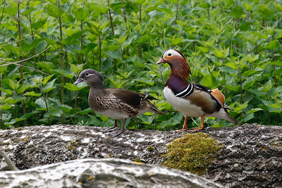 Over the years, a few species held in captivity have flown the coop and have established wild populations in the United Kingdom. Mandarin Duck must surely be the most beautiful of the bunch. Jeanette Shores photographed this pair at Thetford Forest, host to a small population of this Asian relative of North America's Wood Duck.
