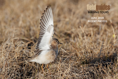 A big wing-waving Welcome to our June 2019 Recent Photos Gallery! This displaying male Buff-breasted Sandpiper put on quite the evening show at Utqiagvik (Barrow) on the Alaska tour this month, calling and flying around, raising the wings, puffing out the breast, and generally behaving like a wind-up toy (even the alula is deployed here!). Thanks to participant Holger Teichmann for sending in this and the next seven Alaska beauties.