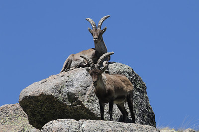 Spain! What lovelier place to be in springtime than the Iberian Peninsula? These Spanish Ibex entertained the group in the Gredos Mountains on the spring Spain tour, guided by Chris Benesh (who took this photo) and Godfried Schreur.