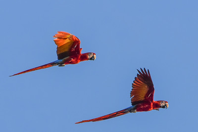 From Africa now to Central America, where participant Jay Pruett caught these Scarlet Macaws in flight on our most recent Costa Rica tour. This unbelievably attractive (and deafeningly loud) species is always popular on tours from Guatemala to Bolivia and Brazil. The long, all-scarlet tail and extensively white face distinguish Scarlet from Red-and-green Macaw.