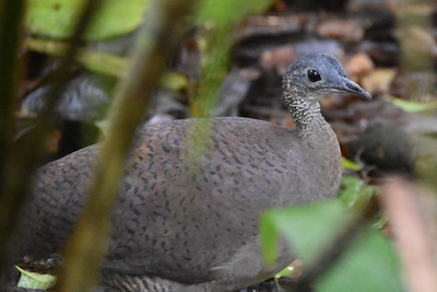Often heard in Costa Rica, but rarely seen, Great Tinamou is the largest of the family Tinamidae, about 47 species of which are found in Middle and South America. Although they can fly, they prefer to walk along the forest floor in search of seeds, fruit, insects, spiders, frogs, and lizards. Male Great Tinamous incubate the eggs and raise the chicks without assistance from females.  Jay Pruett managed this nice image on our Costa Rica tour.